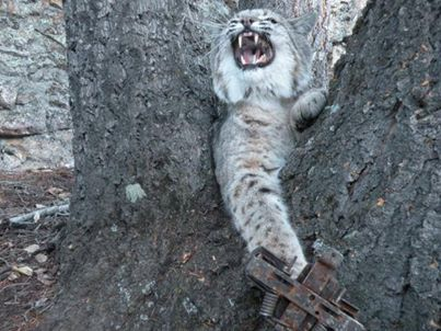 Bobcat in leghold. Shared by Trap Free Montana.